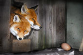 Fox and the egg